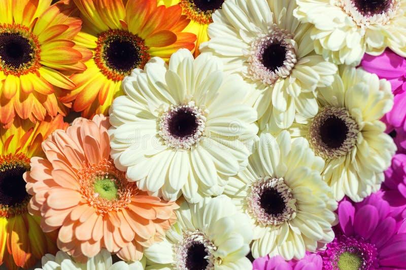 Gänseblümchenblume Gerbera geht Blumenstraußhintergrund voran Ebene gelegtes floristisches Frühlingsmuster lizenzfreies stockbild