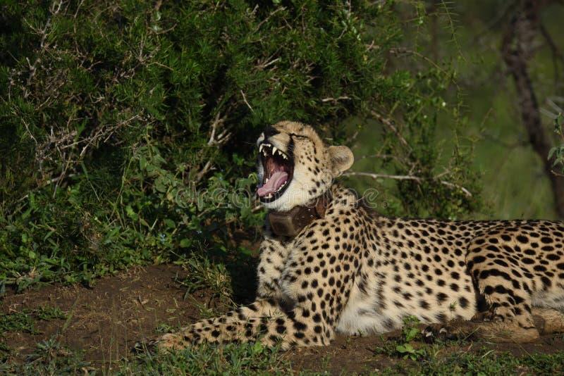 Gähnender Gepard stockbilder
