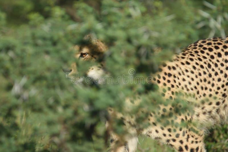 Gähnender Gepard lizenzfreie stockfotografie