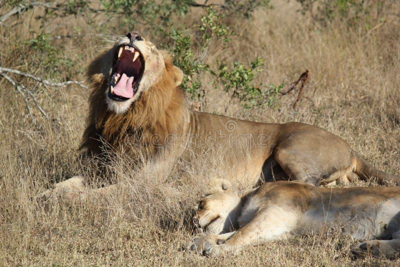 Gähnender Löwe mit Kameraden lizenzfreie stockfotos