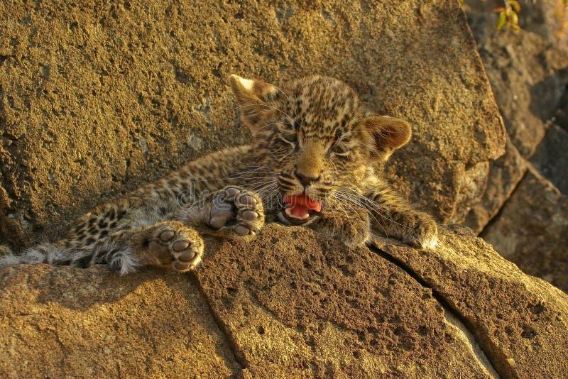 Kann Ein Leopard Seine Punkte Verändern?