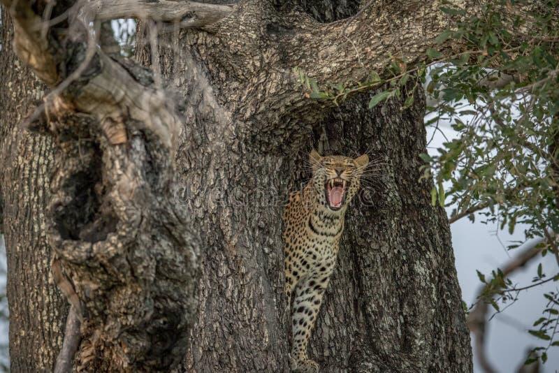Gähnender Leopard in einem Baum lizenzfreie stockfotografie