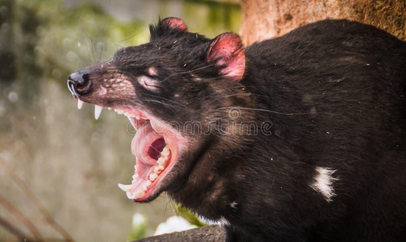 Gähnender tasmanischer Teufel stockfotos