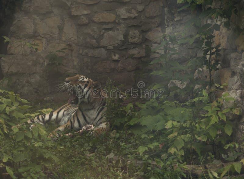 Gähnender Tiger gelegt auf einen Felsen stockbilder
