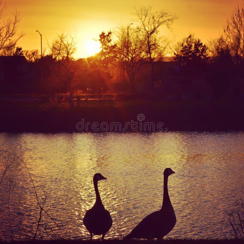 Gänse bei Sonnenuntergang stockfotografie