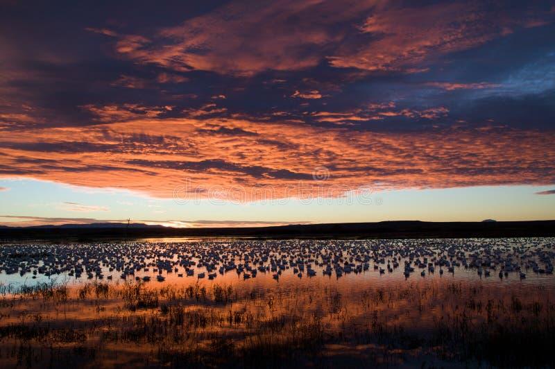 Gänse, die in einem Teich waten lizenzfreie stockfotografie
