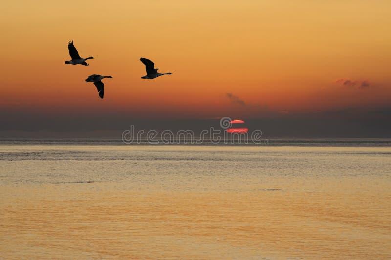 Gänse am Sonnenaufgang lizenzfreies stockbild