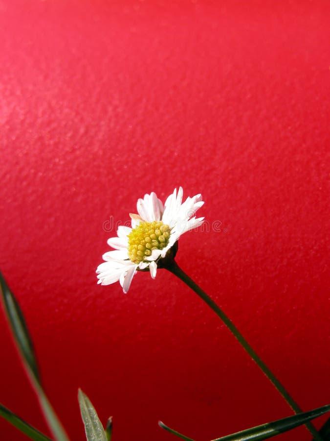 Download Gänseblümchen stockbild. Bild von kopf, staubgefäß, wenige - 40511