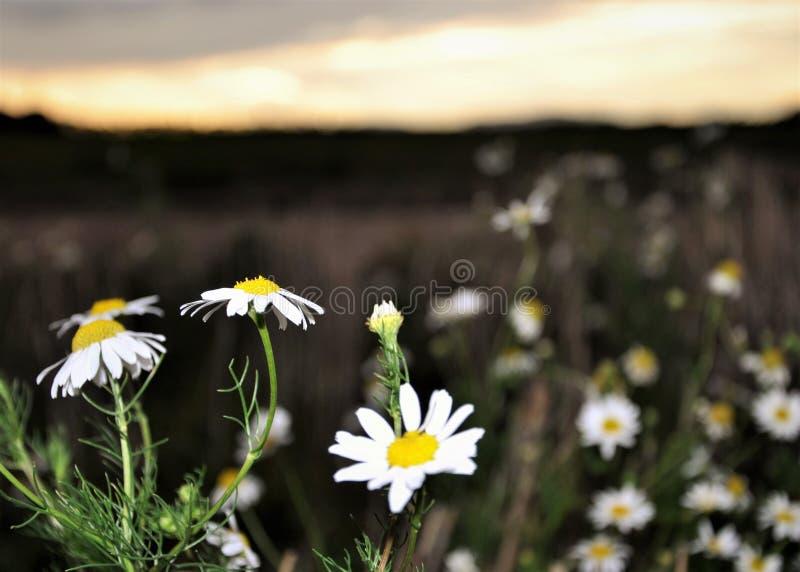 Gänseblümchen auf einem Feld lizenzfreies stockbild