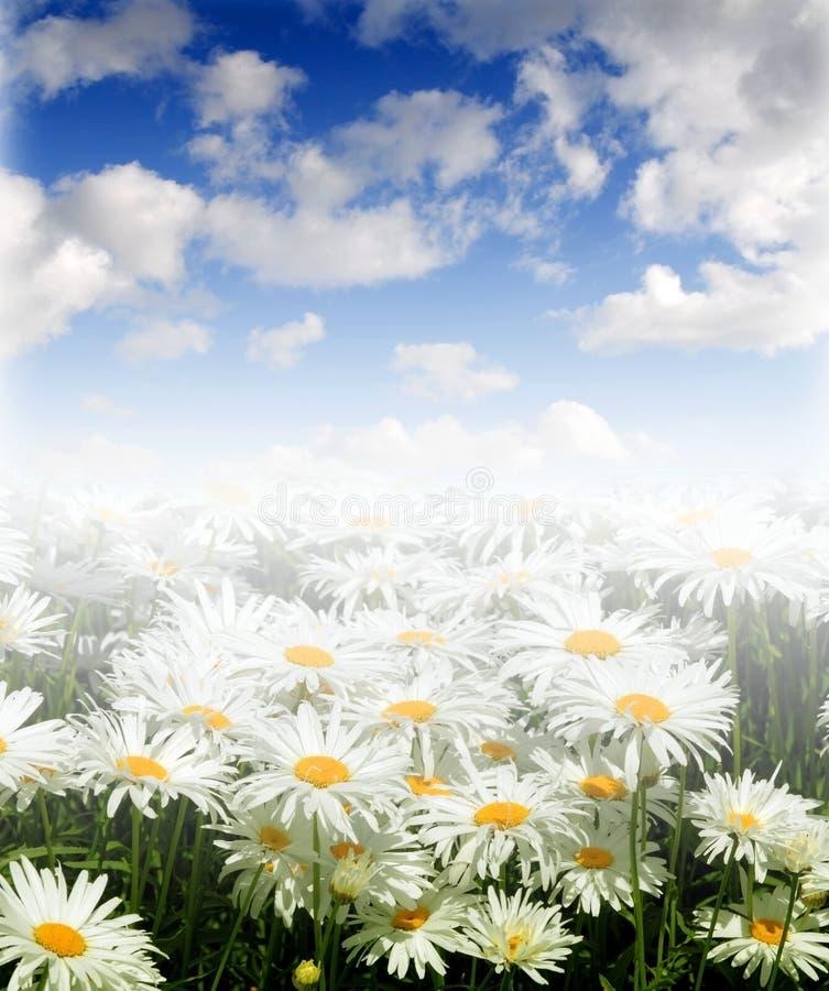 Gänseblümchen auf einer Wiese am sonnigen Tag lizenzfreies stockfoto