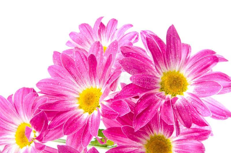 Gänseblümchen auf Weiß lizenzfreie stockfotografie