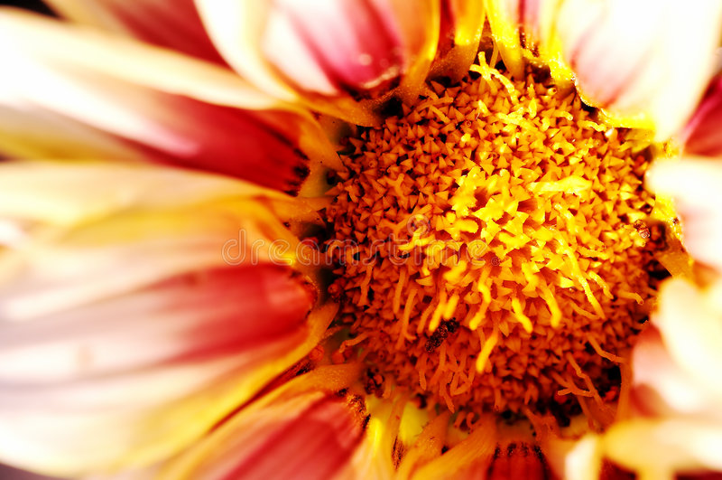 Gänseblümchen-Blumen-Makro lizenzfreies stockfoto