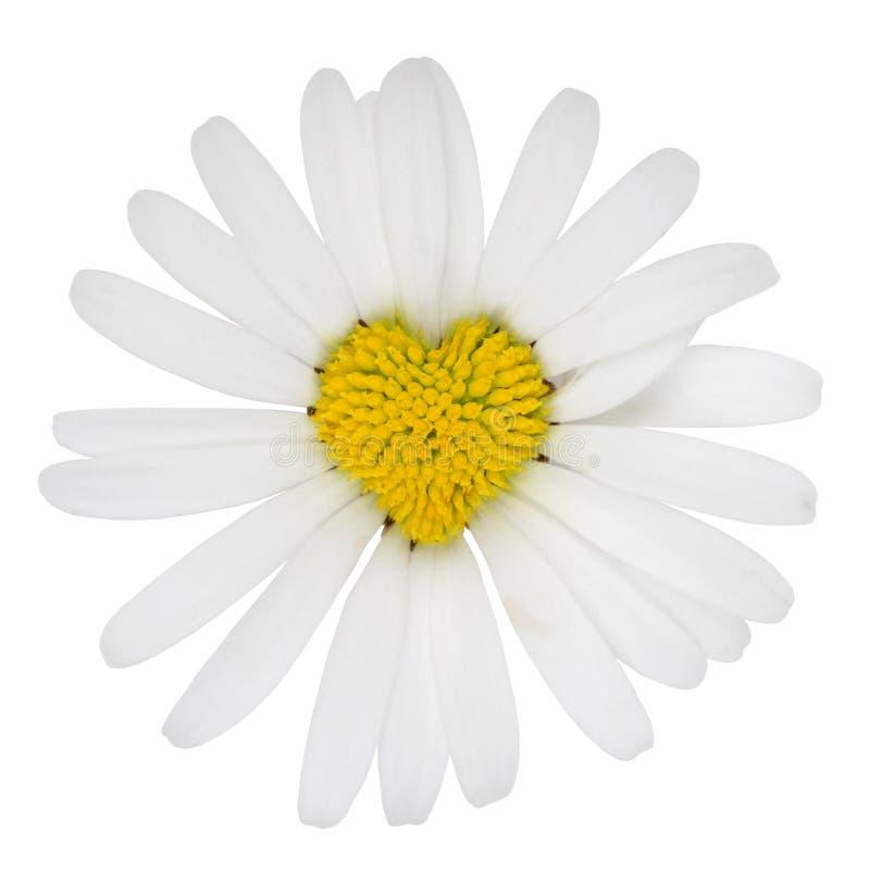 Gänseblümchen-Blumenliebe Des Herzens Geformte Lizenzfreies Stockbild