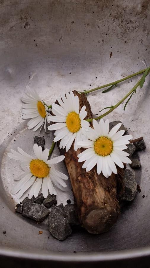 Gänseblümchen in einer Schüssel stockbilder