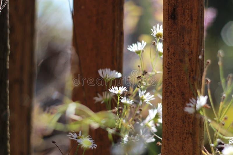 Gänseblümchen frisch lizenzfreie stockfotografie