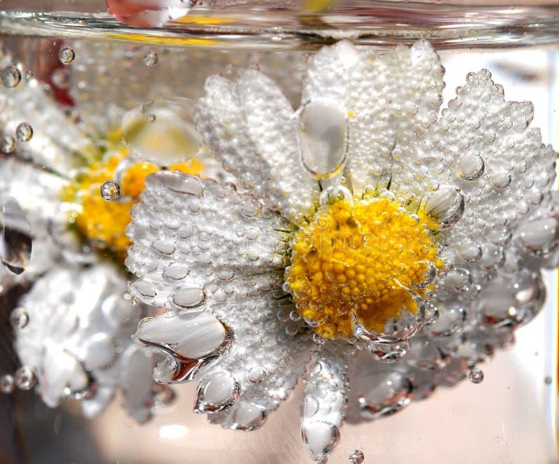 Gänseblümchen in funkelndem Wasser lizenzfreies stockfoto