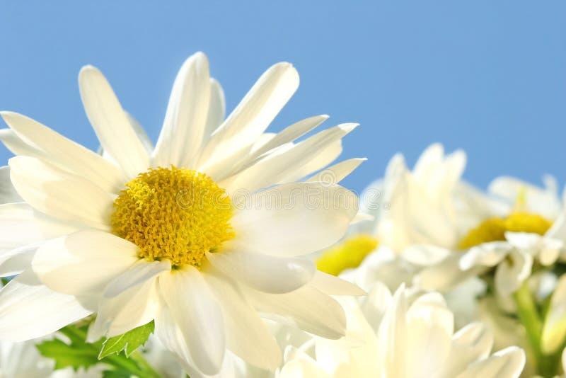 Gänseblümchen gegen den blauen Himmel stockbilder