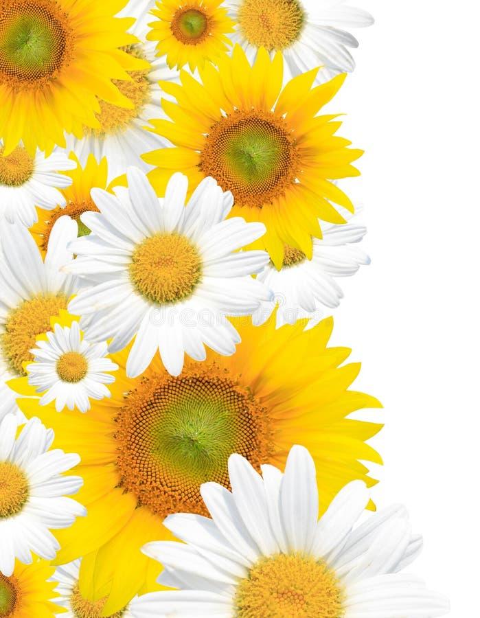 Gänseblümchen-Hintergrund, Sommer oder Frühling saisonal stockfotos