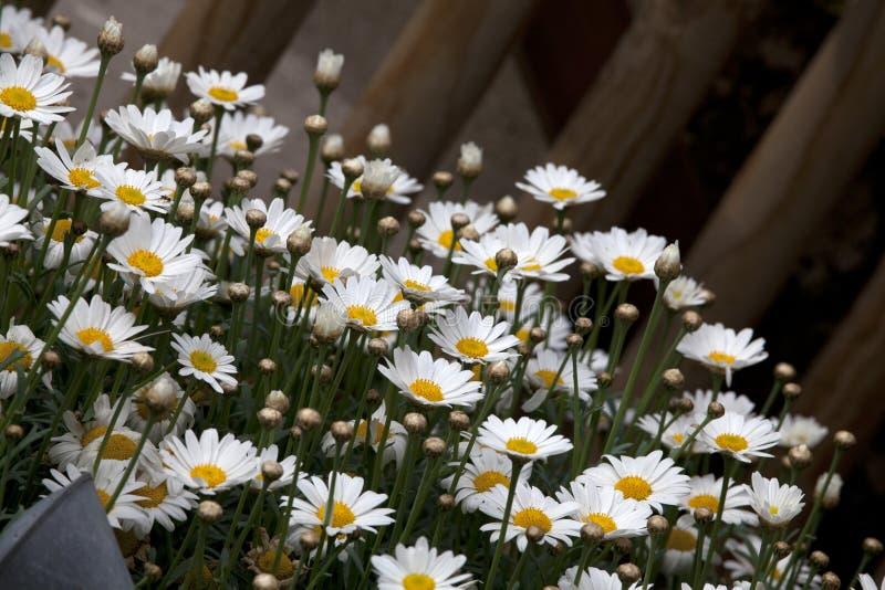 Gänseblümchen, Hundegänseblümchen - Leucanthemum vulgare lizenzfreie stockfotos