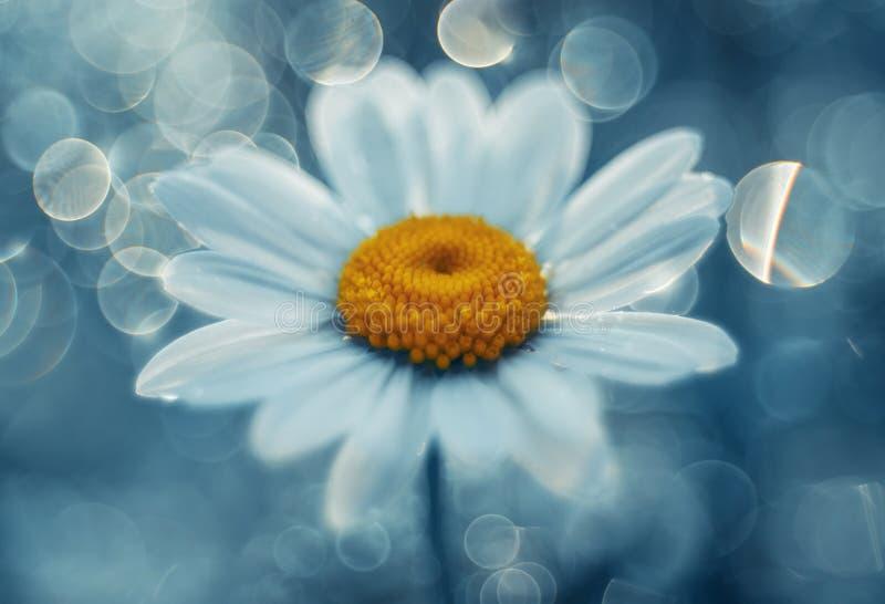 Gänseblümchen im blauen Traum stockfotos