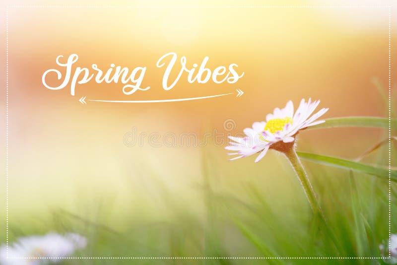 """Gänseblümchen im Frühjahr: Abschluss herauf Bild- und Morgensonne, simsen """"Spring Schwingungen stock abbildung"""