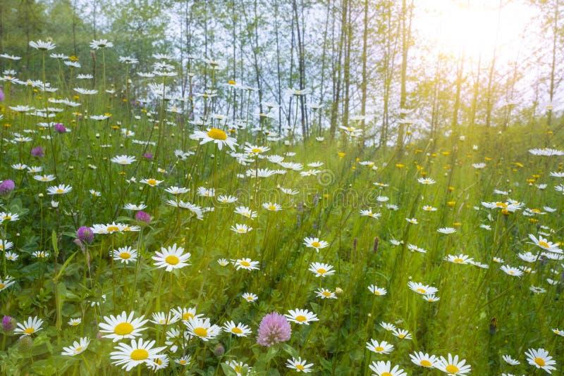 Gänseblümchen im Frühjahr mit der Sonne stockfoto