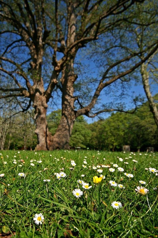 Gänseblümchen im Sijana Waldpark