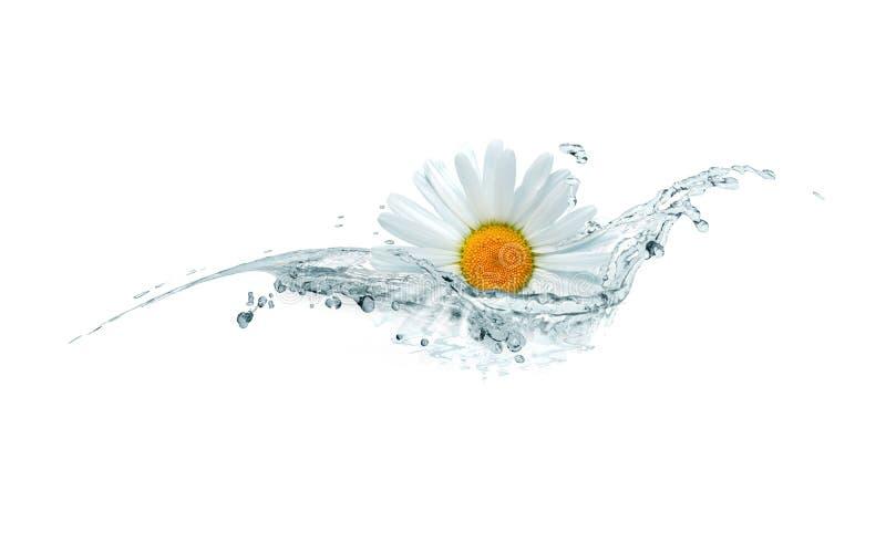 Gänseblümchen im Wasser stockbilder