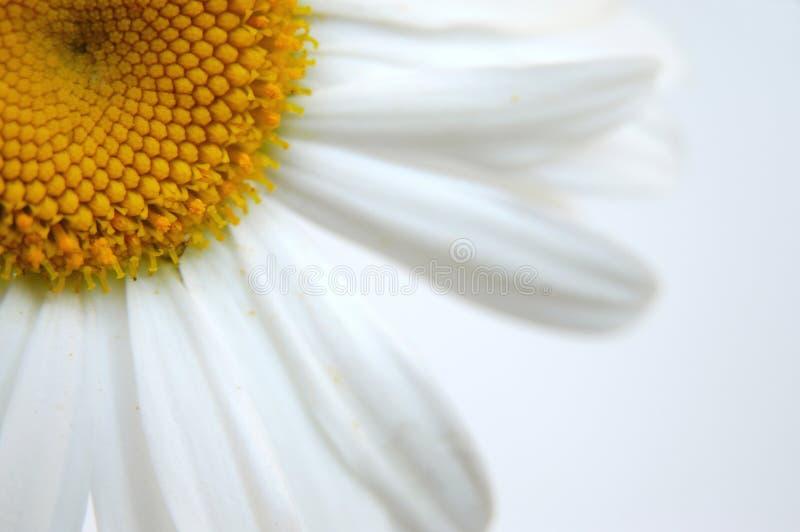 Download Gänseblümchen IV stockfoto. Bild von blumen, weiß, blüten - 173516