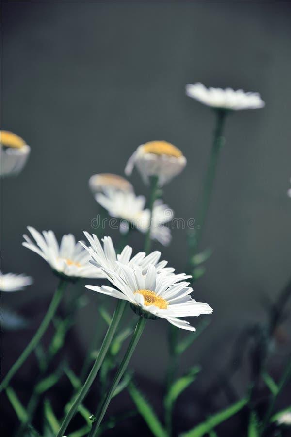 Gänseblümchen Mögen Blumen Kostenlose Öffentliche Domain Cc0 Bild