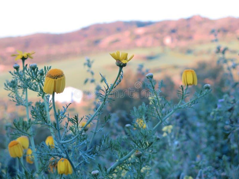 Gänseblümchen mögen Blumen stockfotografie