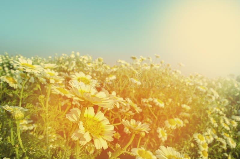 Gänseblümchen mögen weiße Blume auf dem Blumengebiet oder -garten stockbild