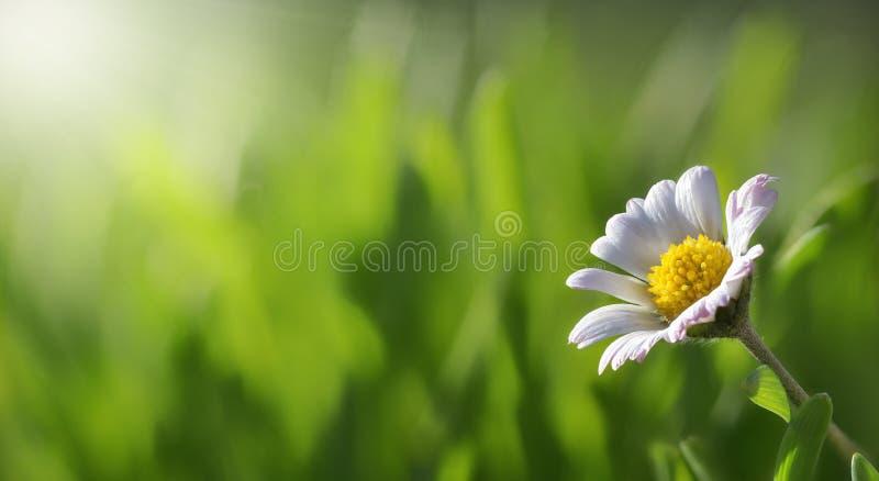 Gänseblümchen mit Gras und Sonne lizenzfreies stockbild