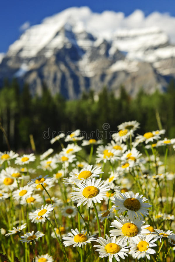 Gänseblümchen Montierung Robson am provinziellen Park, Kanada stockbild