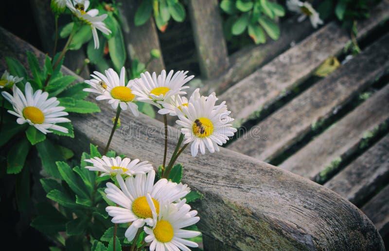 Gänseblümchen und die Biene stockbilder