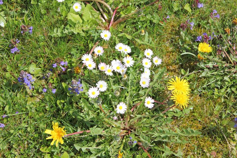 Gänseblümchen und Löwenzahn auf einer Wiese im Sommer stockfotos