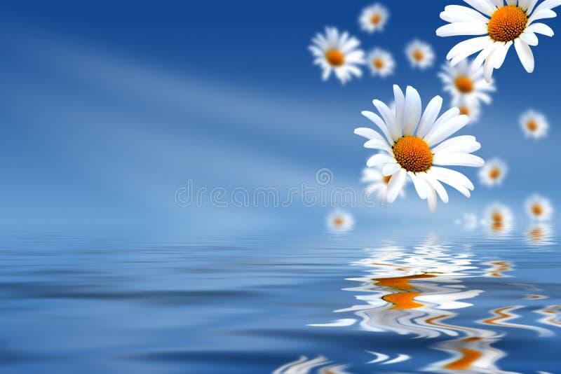 Gänseblümchen und Wasser stockfoto