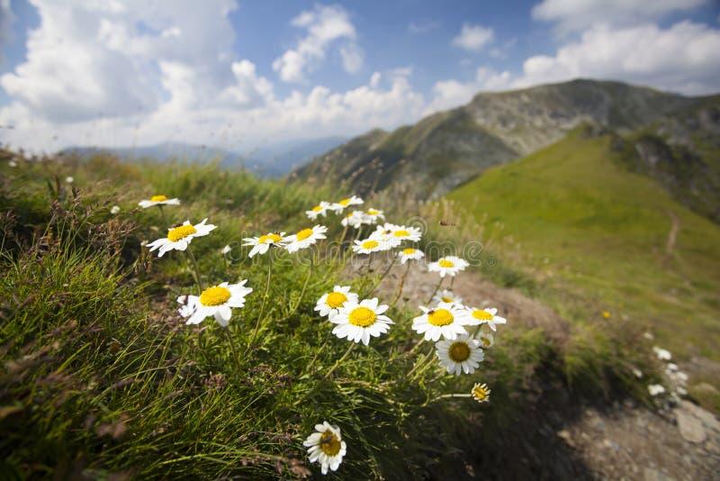 Gänseblümchen und wilde Blumen stockfotos