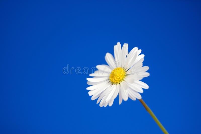 Gänseblümchen unter blauem Frühlingshimmel lizenzfreies stockfoto