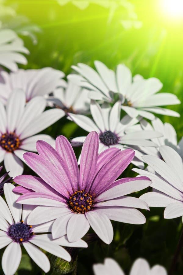 Gänseblümchenblume stockfoto