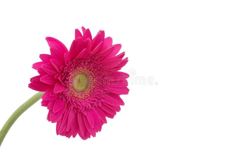 Gänseblümchenblume lizenzfreies stockfoto