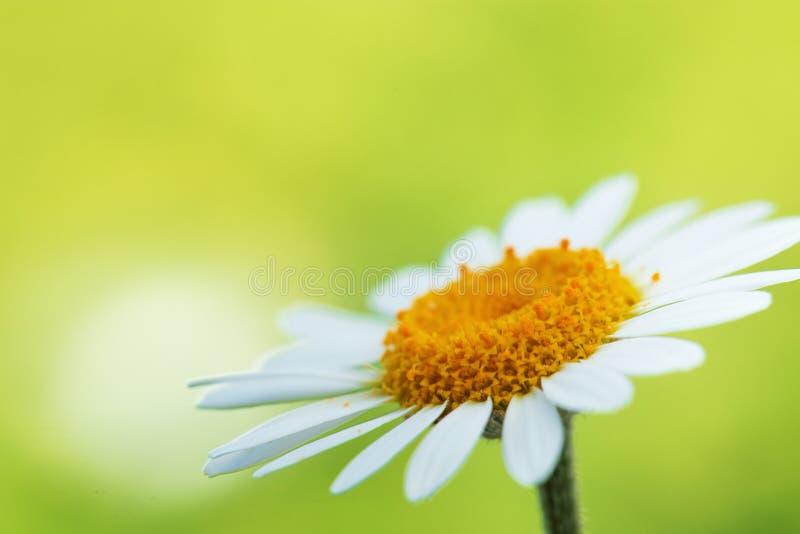 Gänseblümchenblume auf grünem Hintergrund stockfotos