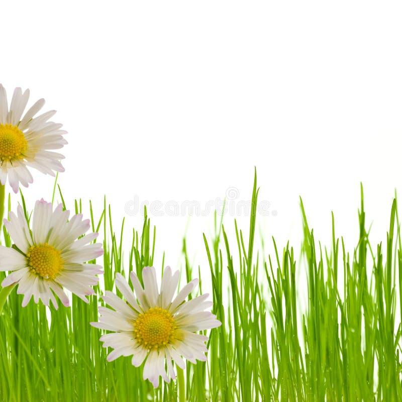 Gänseblümchenblume, Blumenauslegung-Frühlingsjahreszeit stockbild