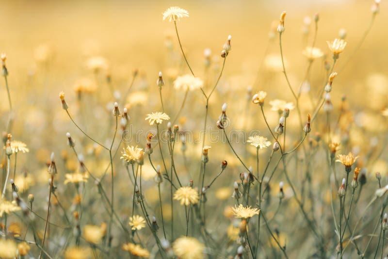 Gänseblümchenblume in der grünen flachen Schärfentiefe des Grases Sch?ne G?nsebl?mchenblumen in der Natur lizenzfreie stockfotografie