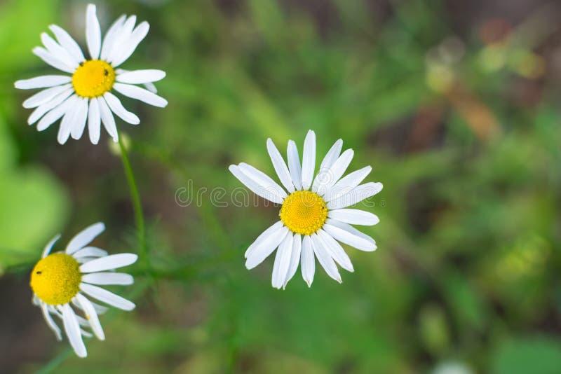 Gänseblümchenblume ohne einige weiße Blumenblätter mit unscharfem Hintergrund stockbild