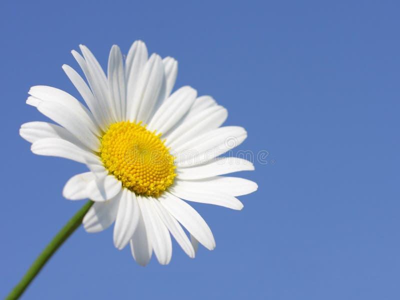 Gänseblümchenblume am sonnigen Tag stockfotografie