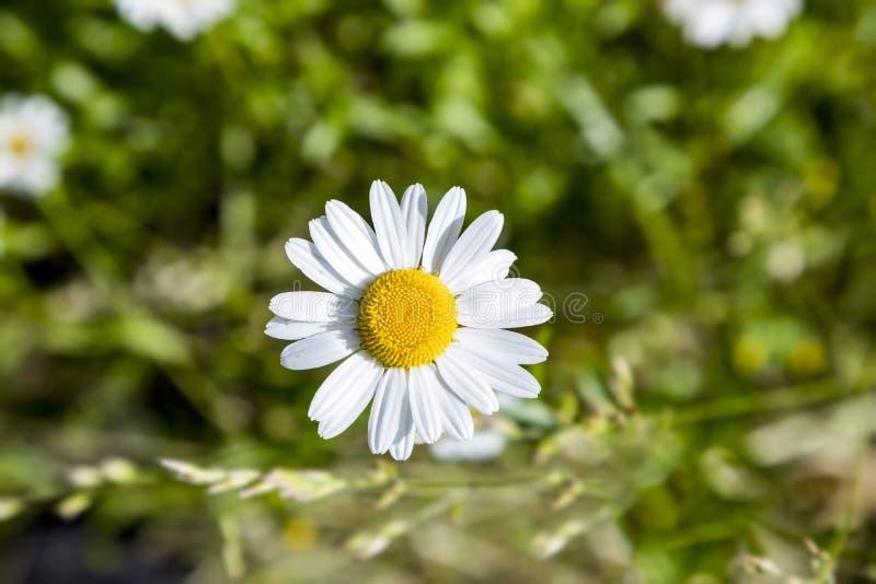 Gänseblümchenblume wächst an der Wiese I der wilden Blume stockfotos