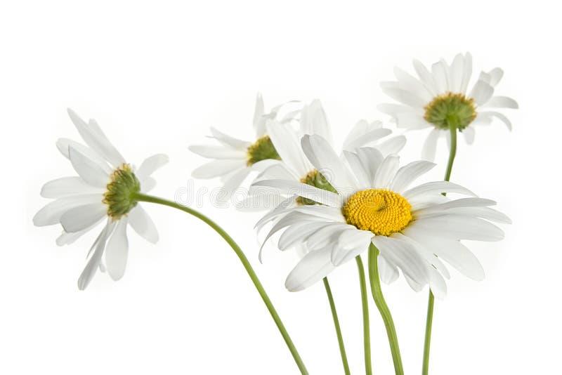 Gänseblümchenblumen stockfotos