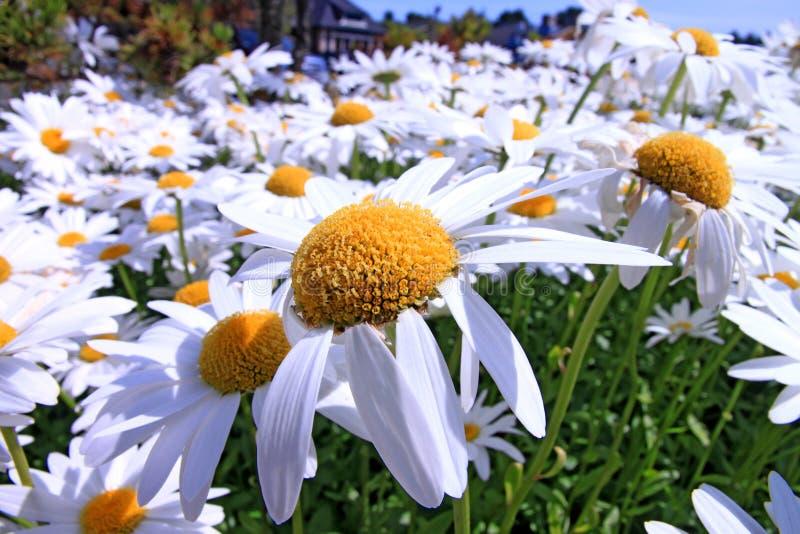 Gänseblümchenblumen in der Blüte stockbilder
