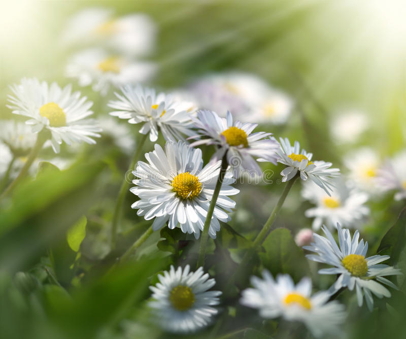 Gänseblümchenblumen im Sonnenlicht gebadet stockbilder